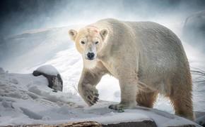 Picture snow, predator, polar bear