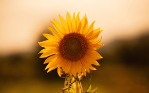 Picture the sun, nature, sunflower