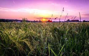 Picture field, sunset, nature, Maki, Aleksei Malygin