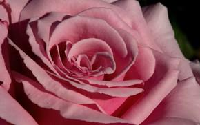 Picture macro, close-up, pink, rose, petals, Bud