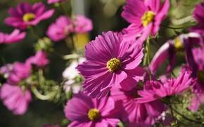 Picture summer, light, flowers, garden, pink, bokeh, cosmos