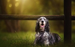 Picture language, look, nature, background, the fence, dog, the fence, puppy, logs, setter