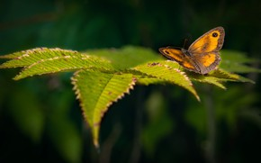 Picture greens, leaves, nature, butterfly, yellow, bokeh, Reddish-Brown Ox-Eye, Gatekeeper