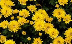 Picture flowers, chrysanthemum, yellow