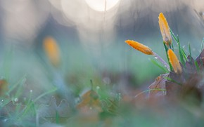 Picture drops, spring, crocuses, buds