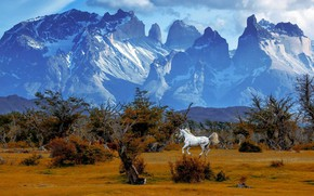 Picture white, trees, mountains, nature, horse, horse, tops, running, Andes