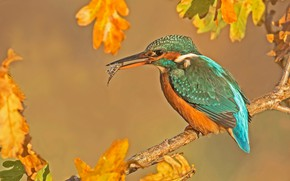 Picture autumn, leaves, bird, fish, branch, mining, Kingfisher