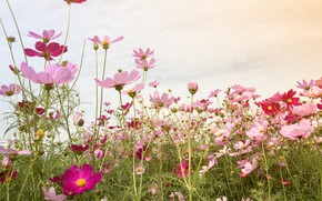 Picture field, summer, the sky, flowers, summer, pink, field, pink, flowers, cosmos