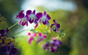 Picture petals, Orchid, Dendrobium