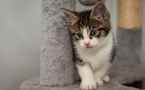 Picture cat, pose, kitty, baby, kitty, spotted, blue-eyed, scratching post, grey with white