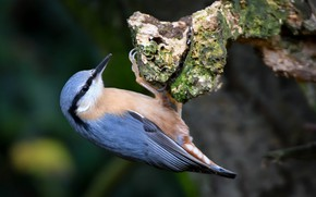 Picture bird, nuthatch, baby
