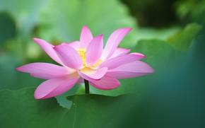 Picture flower, flowering, Lotus