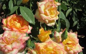 Picture roses, orange roses, spring 2018, Meduzanol ©