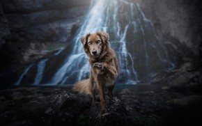 Picture look, nature, pose, stones, rocks, paw, waterfall, dog, the border collie