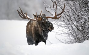 Picture winter, snow, moose