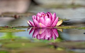 Picture flower, reflection, Nymphaeum, water Lily
