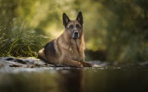 Picture water, dog, breed, handsome, shepherd