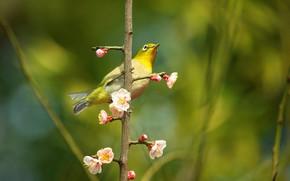 Picture flowers, branches, bird, beauty, blur, spring, Sakura, bird, flowering, green background, yellow, bokeh, Japanese white-eye