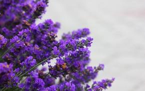 Picture nature, background, lavender