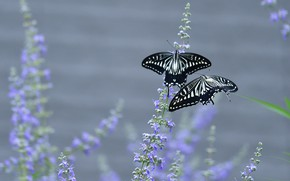 Picture butterfly, flowers, background, butterfly, two, pair, Duo, swallowtail, two butterflies