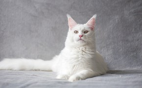 Picture cat, white, cat, look, face, pose, tail, lies, grey background, the expression, king, Maine Coon, …