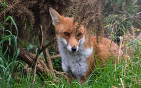 Picture forest, grass, look, face, branches, thickets, portrait, Fox, sitting, needles, Fox, Peeps