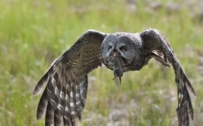 Picture bird, hunting, Great Grey Owl