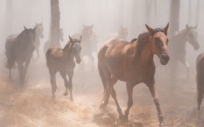 Picture forest, grass, trees, fog, horses, morning, horse, a lot, the herd, the herd, foal, he …