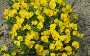 Picture flowers, nature, Pansy, yellow, spring 2018, Mamala ©