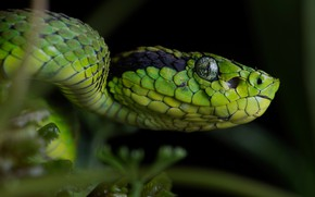 Picture look, face, close-up, the dark background, portrait, snake, green, reptile