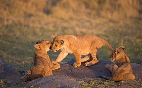 Picture nature, the game, three, kids, the cubs, trio, lion, lion, three cub