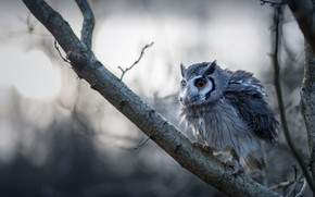 Picture forest, look, branches, pose, fog, background, owl, bird, morning, bitches, bokeh