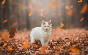 Picture autumn, forest, cat, white, cat, look, leaves, light, nature, Park, foliage, yellow, is, face, falling …