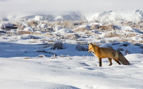 Picture winter, field, light, snow, Fox, the snow, red, wildlife, Fox