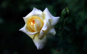 Picture drops, background, rose, Bud, white