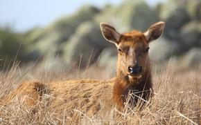 Picture grass, look, nature, portrait, deer, female, DOE