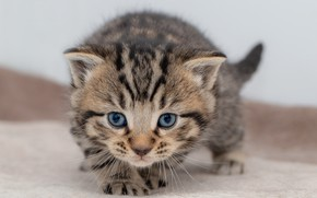 Picture cat, look, pose, kitty, grey, baby, muzzle, kitty, striped, British
