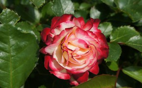 Picture flower, flowers, nature, pink, roses, spring, garden