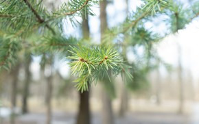 Picture forest, Branch, Pine, Spruce branch, Macro