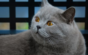 Picture cat, cat, look, face, mesh, the fence, portrait, grey, yellow eyes, British