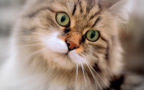 Picture cat, eyes, cat, look, portrait, muzzle, cat