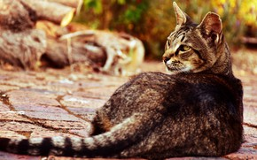Picture cat, cat, look, face, pose, back, tail, logs, bokeh, tabby
