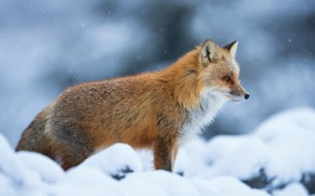 Picture winter, look, face, snow, nature, pose, portrait, Fox, beauty, the snow, profile, red, is, snowfall, …