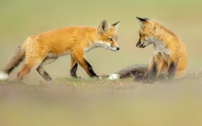 Picture pose, background, glade, the game, pair, Fox, kids, a couple, friends, two, cubs, Fox, Fox, …