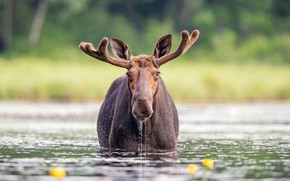 Picture portrait, look, blurred, moose, background, bathing, shore, face, pond, river, drops