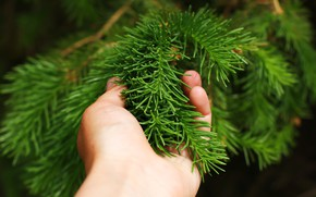 Picture needles, background, hand, spruce