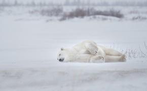 Picture winter, snow, sleep, Polar bear, Polar bear, sleep