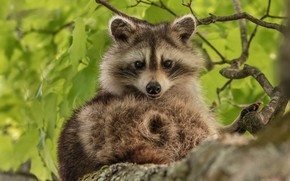 Picture leaves, branches, nature, tree, animal, raccoon