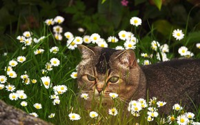 Picture cat, summer, grass, cat, look, face, flowers, grey, glade, chamomile, walk, striped, lawn