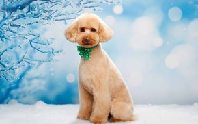 Picture snow, background, dog, bow, poodle, Natalia Lays